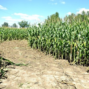 sweet-corn-maze-905219_1280